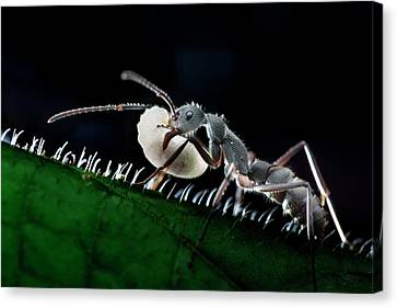 Ant Carrying Larva Canvas Print