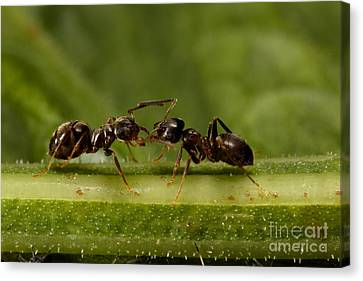 Ant Communication Canvas Print by Frank Fox