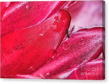 Ant Exploring Protea Petals Canvas Print by Kaye Menner