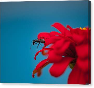 Ant On Flower Canvas Print by Sarah Crites