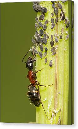 Ant Tending Aphids Canvas Print by Mircea Costina Photography