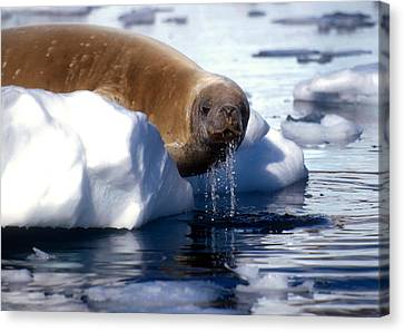Canvas Print featuring the photograph Antarctic Crabeater Seal by Dennis Cox WorldViews