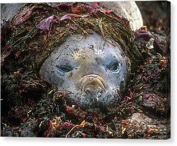 Canvas Print featuring the photograph Antarctic Elephant Seal by Dennis Cox WorldViews