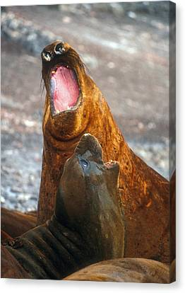 Canvas Print featuring the photograph Antarctic Elephant Seals by Dennis Cox WorldViews