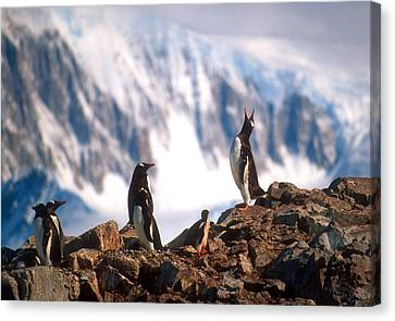 Canvas Print featuring the photograph Antarctic Gentoo Penguins by Dennis Cox WorldViews