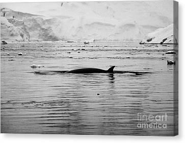 antarctic minke whale Balaenoptera bonaerensis surfacing with dorsal fin in fournier bay antarctica Canvas Print by Joe Fox