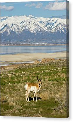 Antelope On Shore Of Antelope Island Canvas Print by Howie Garber