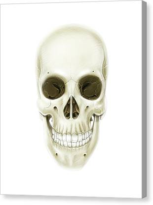 Anterior View Of Human Skull Canvas Print by Alan Gesek