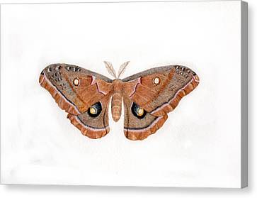 Antheraea Polyphemus Canvas Print by Inger Hutton