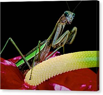 Canibal Canvas Print - Praying Mantis Taking A Walk On The Anthurium Flower Giving Me A Great Pose by Leslie Crotty
