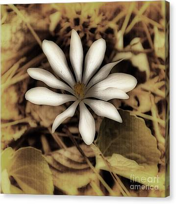 Antique Bloodroot Canvas Print by Skip Willits