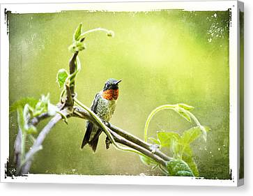 Antique Hummingbird Postcard No. 9038 Canvas Print by Christina Rollo