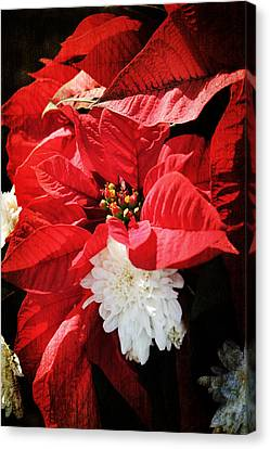 Flower Canvas Print - Antiqued Poinsettia by Robin Lewis