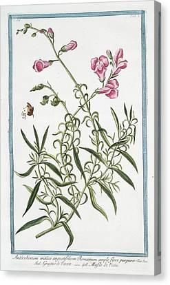 Cesare Canvas Print - Antirrhinum Majus by Rare Book Division/new York Public Library