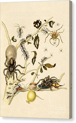 Ants Spiders Tarantula And Hummingbird Canvas Print by Getty Research Institute