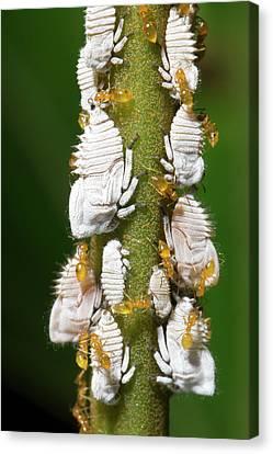 Ants Tending Planthopper Nymphs Canvas Print