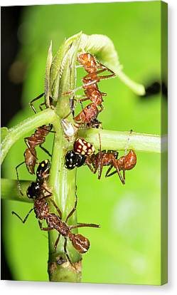 Ants Tending Treehoppers Canvas Print by Dr Morley Read
