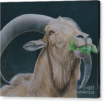 Aoudad Sheep Canvas Print by Charlotte Yealey