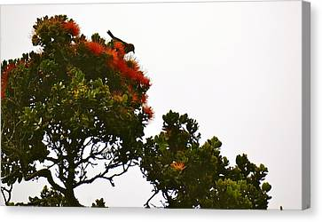 Apapane Atop An Orange Ohia Lehua Tree  Canvas Print