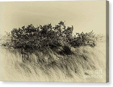 Apollo Beach Grass Canvas Print by Marvin Spates