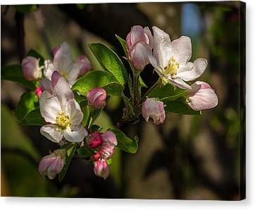 Apple Blossom 3 Canvas Print by Carl Engman