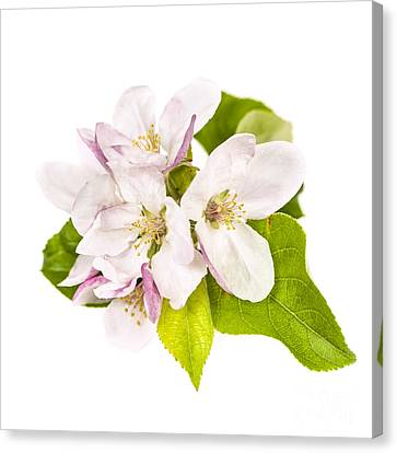 Apple Blossom Canvas Print by Elena Elisseeva