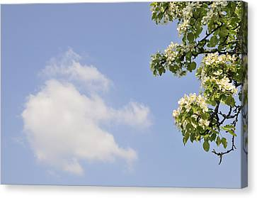 Apple Blossom In Spring Blue Sky Canvas Print by Matthias Hauser