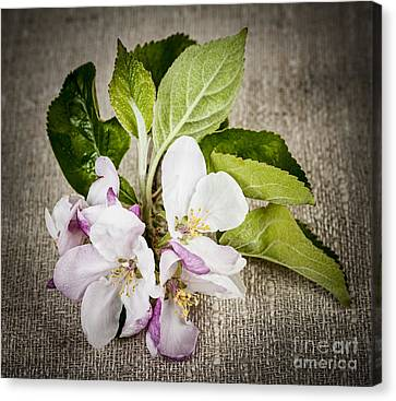 Apple Blossom On Linen Canvas Print by Elena Elisseeva