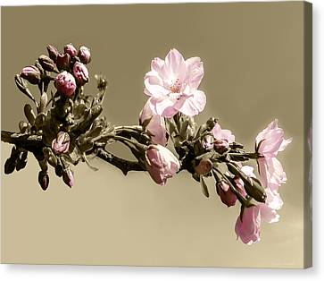 Apple Blossom On Sepia Canvas Print by Yvon van der Wijk