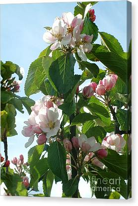 Apple Blossom Canvas Print by Phil Banks
