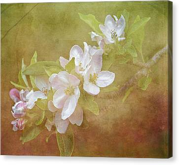 Apple Blossom Spring Canvas Print by TnBackroadsPhotos