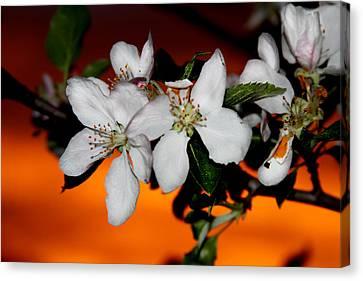 Apple Blossom Sunrise I Canvas Print