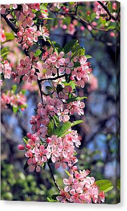Apple Blossom Time Canvas Print by Katherine White