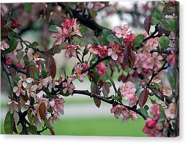 Canvas Print featuring the photograph Apple Blossom Time by Kay Novy