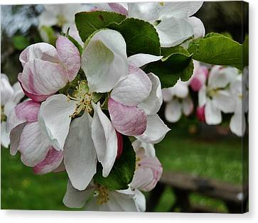 Apple Blossoms 2 Canvas Print