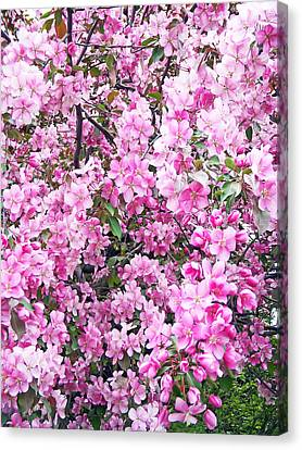 Apple Blossoms Canvas Print by Aimee L Maher Photography and Art Visit ALMGallerydotcom