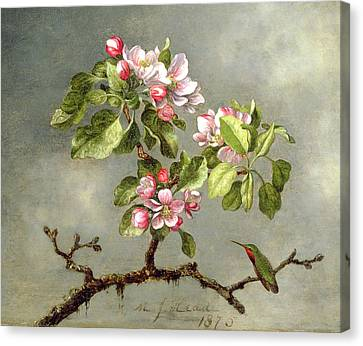 Apple Blossoms And A Hummingbird Canvas Print by Martin Johnson Heade
