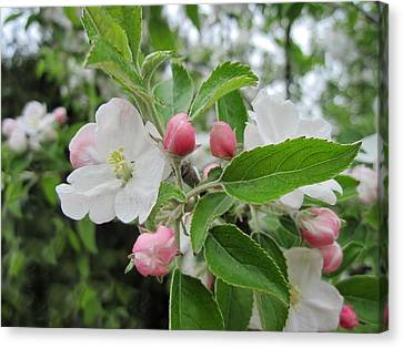 Apple Blossoms And Buds Canvas Print by Patricia E Sundik