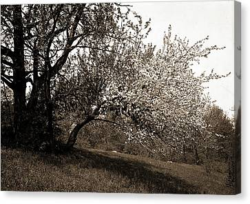 Apple Tree Canvas Print - Apple Blossoms, Apple Trees, Flowers by Litz Collection