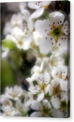 Apple Blossoms Canvas Print by Ken Dietz