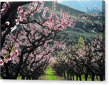 Apple Blossoms Oliver Bc Canvas Print by Don Mann