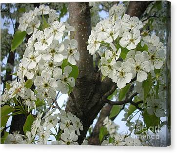 Apple Blossoms Canvas Print by Randi Shenkman
