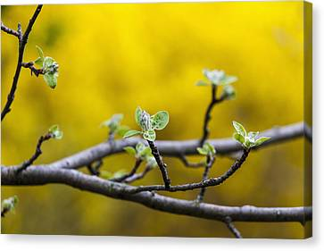 Apple Flower Buds Against A Yellow Canvas Print by Laura Berman