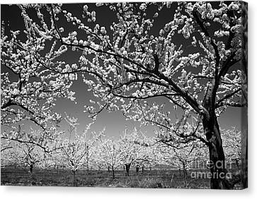 Flowering Canvas Print - Apple Orchard by Elena Elisseeva