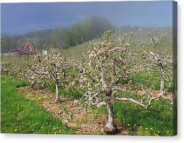 Apple Orchard In Spring Canvas Print by John Burk