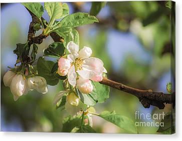 Apple Tree Blossom - Vintage Canvas Print by Hannes Cmarits