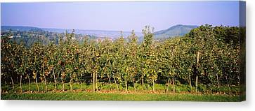 Apple Trees In An Orchard, Weinsberg Canvas Print by Panoramic Images