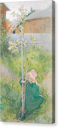 Appleblossom Canvas Print by Carl Larsson