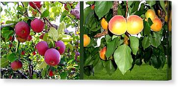 Canvas Print featuring the photograph Apples And Apricots by Will Borden