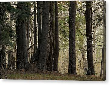 Appleton Canvas Print - Appleton Forest Detail by David Stone